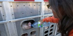 livestock hauling exemption pigs
